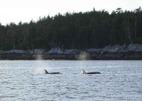 Whales in Prince Rupert